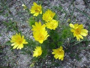 Адонис (Горицвет весенний, Стародубка)