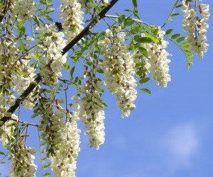 Купить цветки белой акации