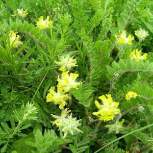 Астрагал шерстистоцветковый (корень)