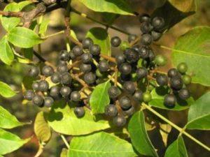 Амурский Бархат (плоды)