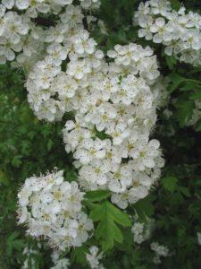 Боярышник цветки