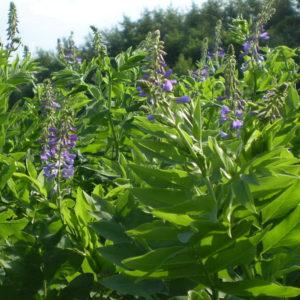 Галега лекарственная (трава)