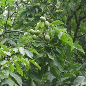 Грецкий орех (лист)