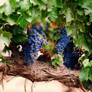 Виноград (косточка)