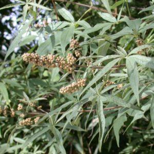 Витекс священный (семена)