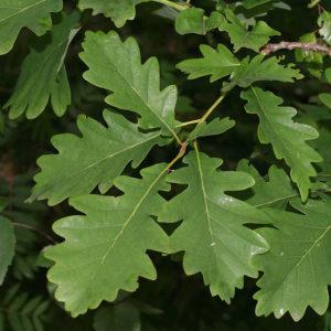 Дуб (лист)