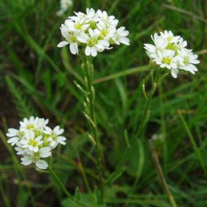 Икотник (трава)
