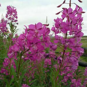 Иван-чай (цветки)