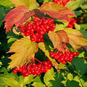 Калина (ягоды)