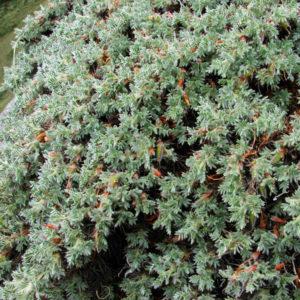 Карагана гривастая (трава)