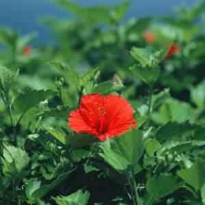 Каркадэ (цветки)