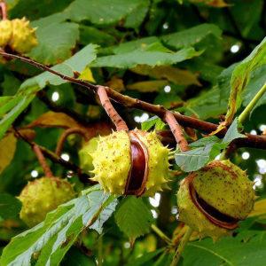 Каштан конский (плоды)