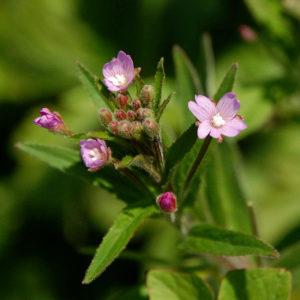 Кипрей мелкоцветковый (трава)