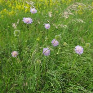 Короставник (трава)