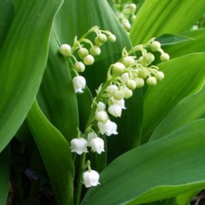 Ландыш (цветки)