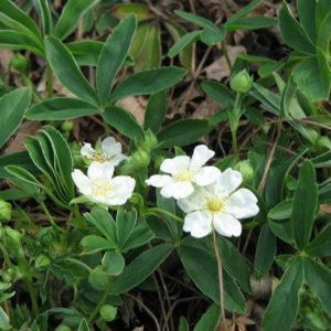 Лапчатка белая (трава)