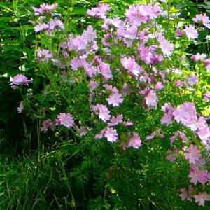 Мальва лесная (цветки)