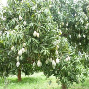 Манго молотое (плод)