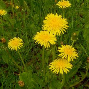 Одуванчик (трава)