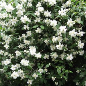 Жасмин (цветки)