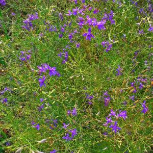 Живокость полевая (трава)