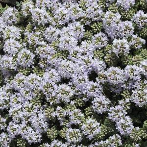 Зизифора (трава)