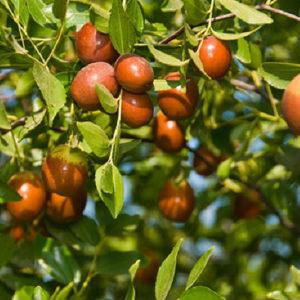 Зизифус (плоды)