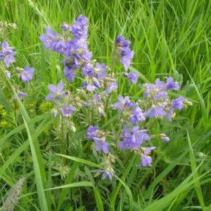 Череда голубая (трава)