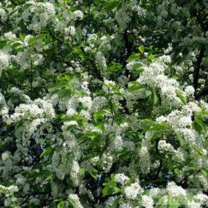 Черёмуха (цветки)