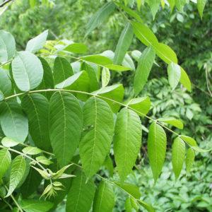 Чёрный орех (лист)