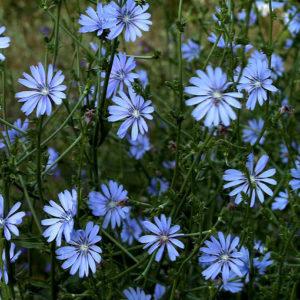 Цикорий (трава)
