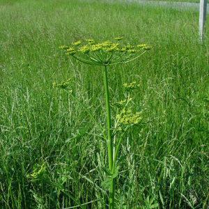 Пастернак (семена)