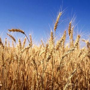 Пшеница (отруби)