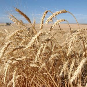 Пшеница (зерно)