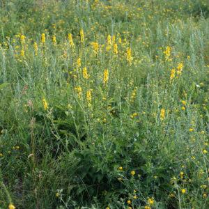 Репешок (трава)