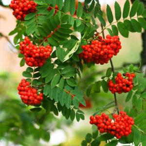 Рябина красная (плоды)