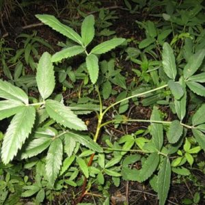 Сабельник болотный (корень)
