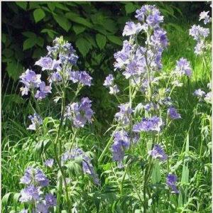 Синюха голубая (трава)