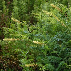 Софора желтеющая (корень)