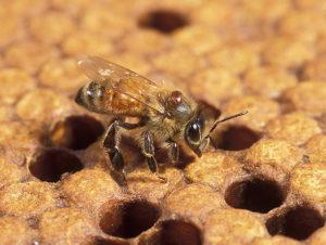 Роль прополиса в жизни пчёл