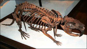 Скелет гигантского бобра